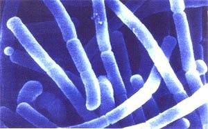Bakterije za biološki razkis